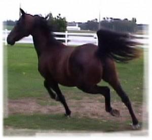 14.2h reg. American Morgan Horse